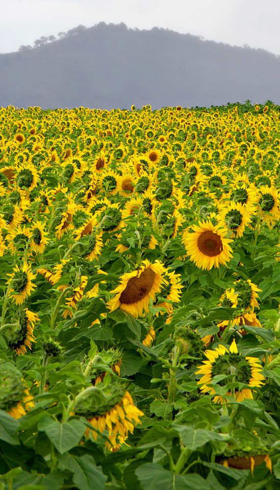 sunflowers farm focus stacking